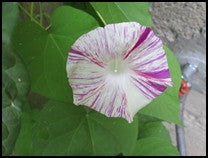 Carnevale di Venezia Morning Glory flower