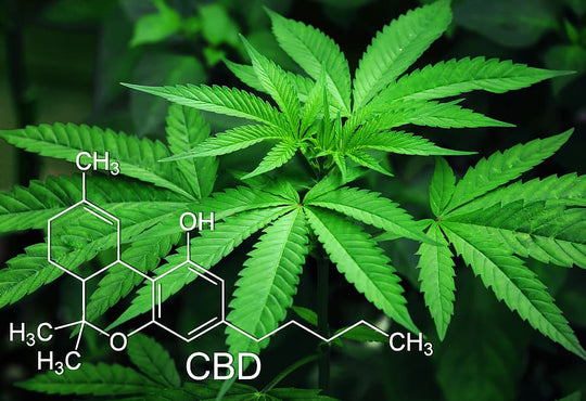 CBD Plant: What Is It? How Is It Different From Regular Cannabis?