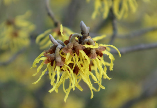 How to Use Witch Hazel for Hair?