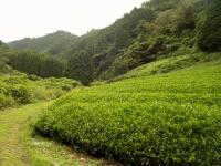 Organic Matcha Green Tea Farm Japan - BeMatcha