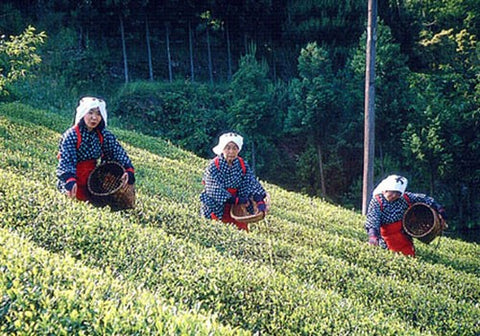 Organic Japanese Matcha Green Tea Farm Harvest - BeMatcha