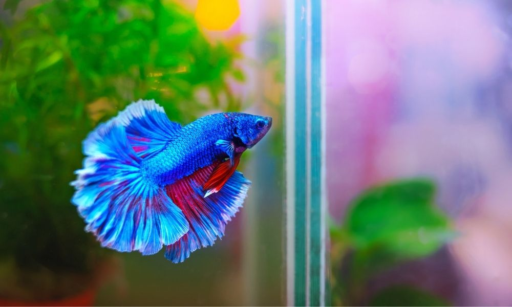 How To Treat a Betta Fish With Popeye