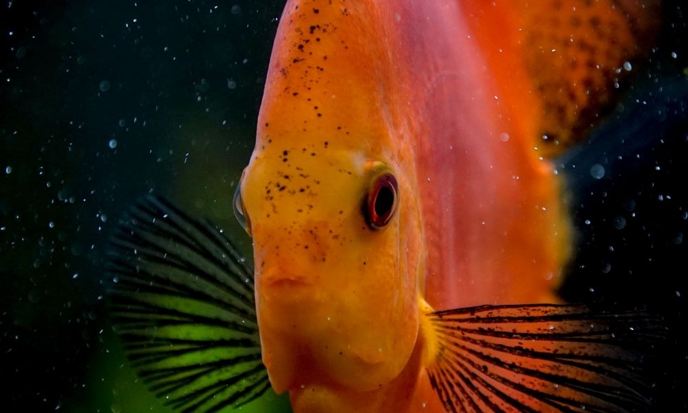 Most Common Bacterial Infections in Aquarium Fish