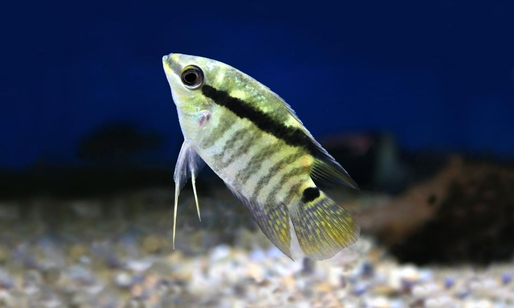 How To Treat Popeye in Cichlids
