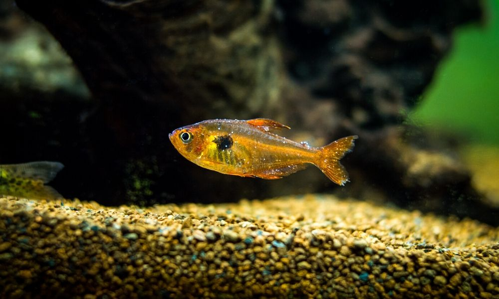 Common Signs of Disease in Pet Fish