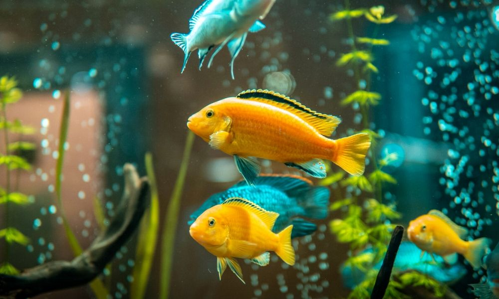 What Does Amoxicillin Treat in Fish?