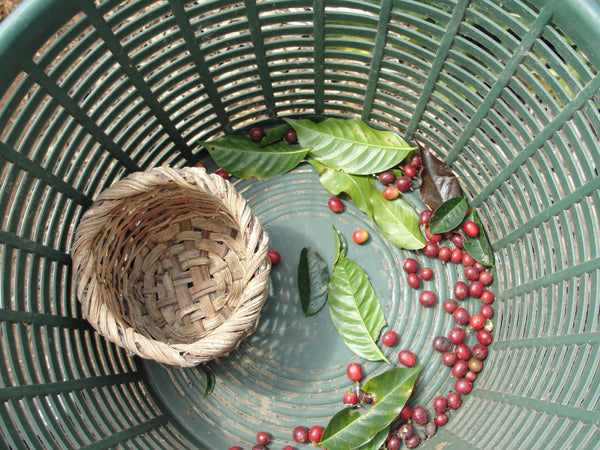 coffee picking basket Costa Rica