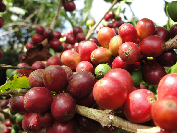 tarrazu coffee cherries, Costa Rica