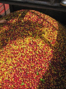 coffee cherries ready to process in a coffee mill