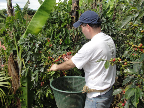 Picking coffee in a Caturra cultivar in Concepcion Tarrazu, Costa Rica