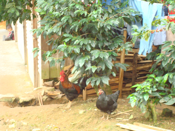 chicken in the coffee farm