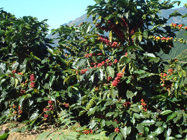 coffee trees in Tarrazu costa rica