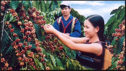 Robusta Coffee Tree in Vietnam