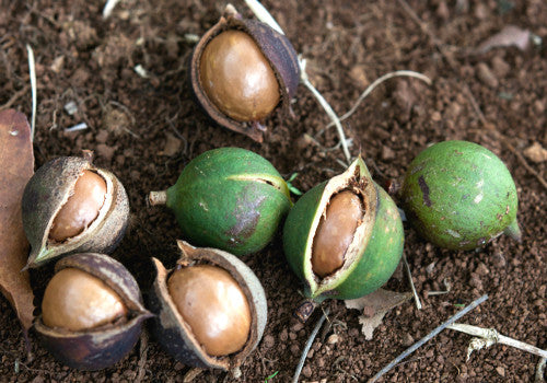Why We Use Macadamia In Our Body Care Products