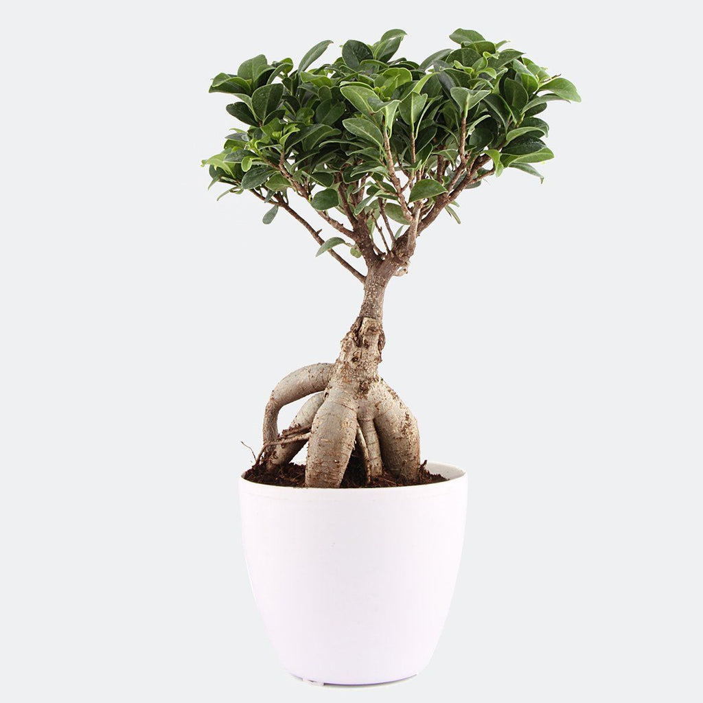 Grafted Bonsai 2 yr old in Ceramic Pot