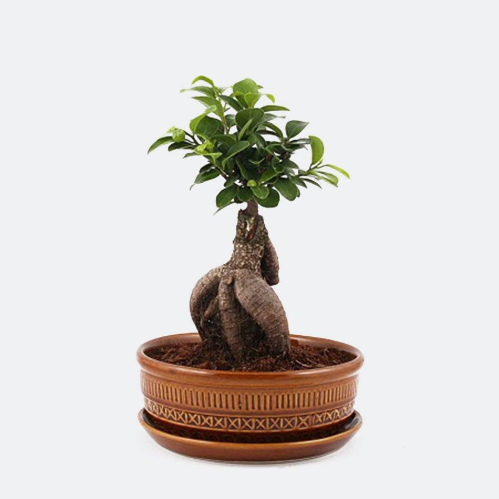 Grafted Bonsai 1.5 yr old in Ceramic Pot