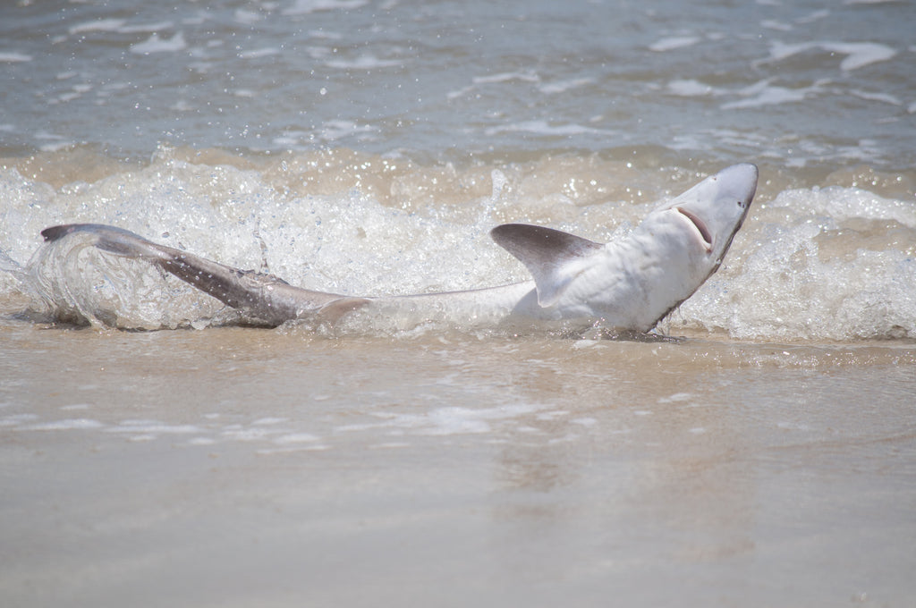 Local Expert Weighs In On OC Shark Beaching