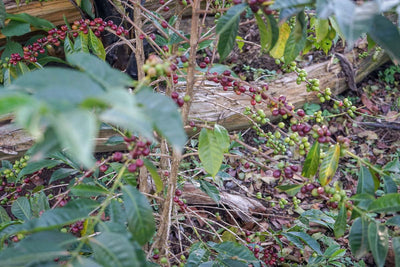 Ripe heirloom coffee cherries are ready for picking on the Kayon Mountain farm.