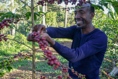 Farm owner Ismel Hassen picks ripe cherries on the Kayon Mountain farm