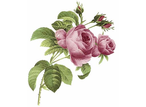 June Pink Rose Flower Item # 2898