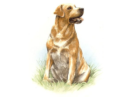 Dog Labrador Yellow 5453