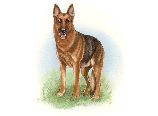 Dog German Shepherd 5454