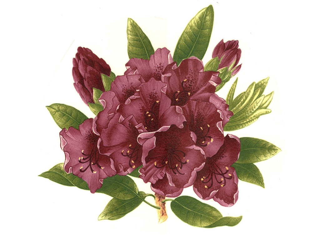 Rhododenron Maroon Flower Select Size Item # 11657