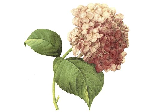 Hortensia Pink Lilac Flowers  2836