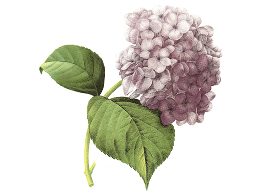 2836 Lilac Hortensia Lilac Flowers
