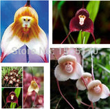 Beautiful Monkey Face Orchids Seeds