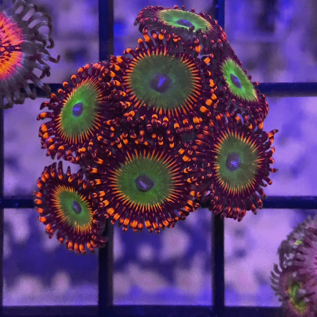 Candy Apple Red 7 polyp mini colony