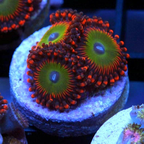 Candy Apple Red Zoanthid (3 Polyps)