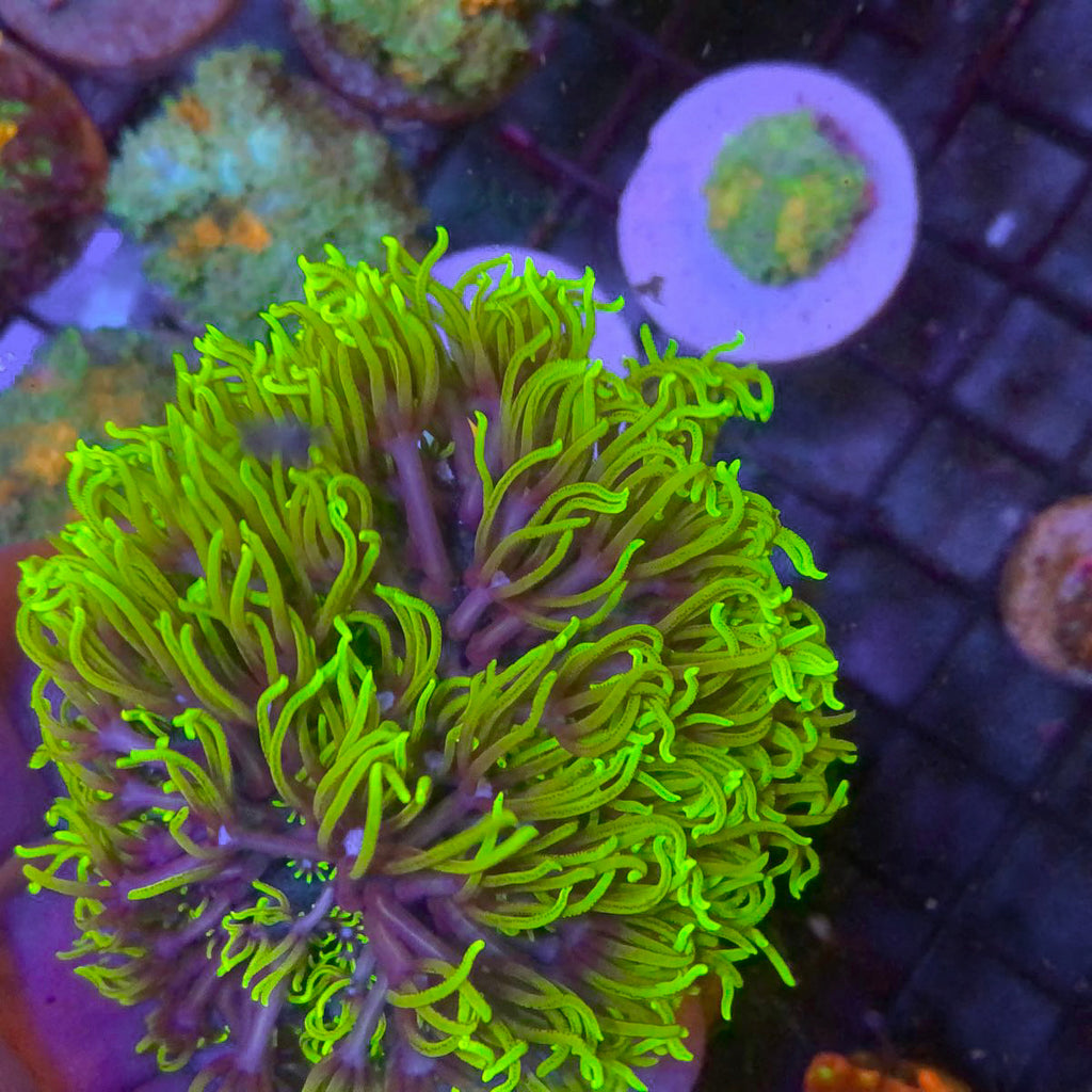 Beautiful Green and Purple Star Polyps