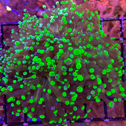 XLG! Frogspawn #2