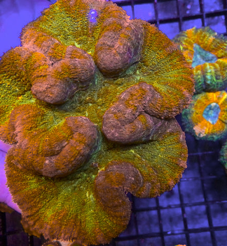 Jumbo Center Piece!  Orange Blossom Lobophyllia