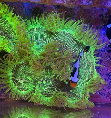 XLG Elegance Coral (see description)
