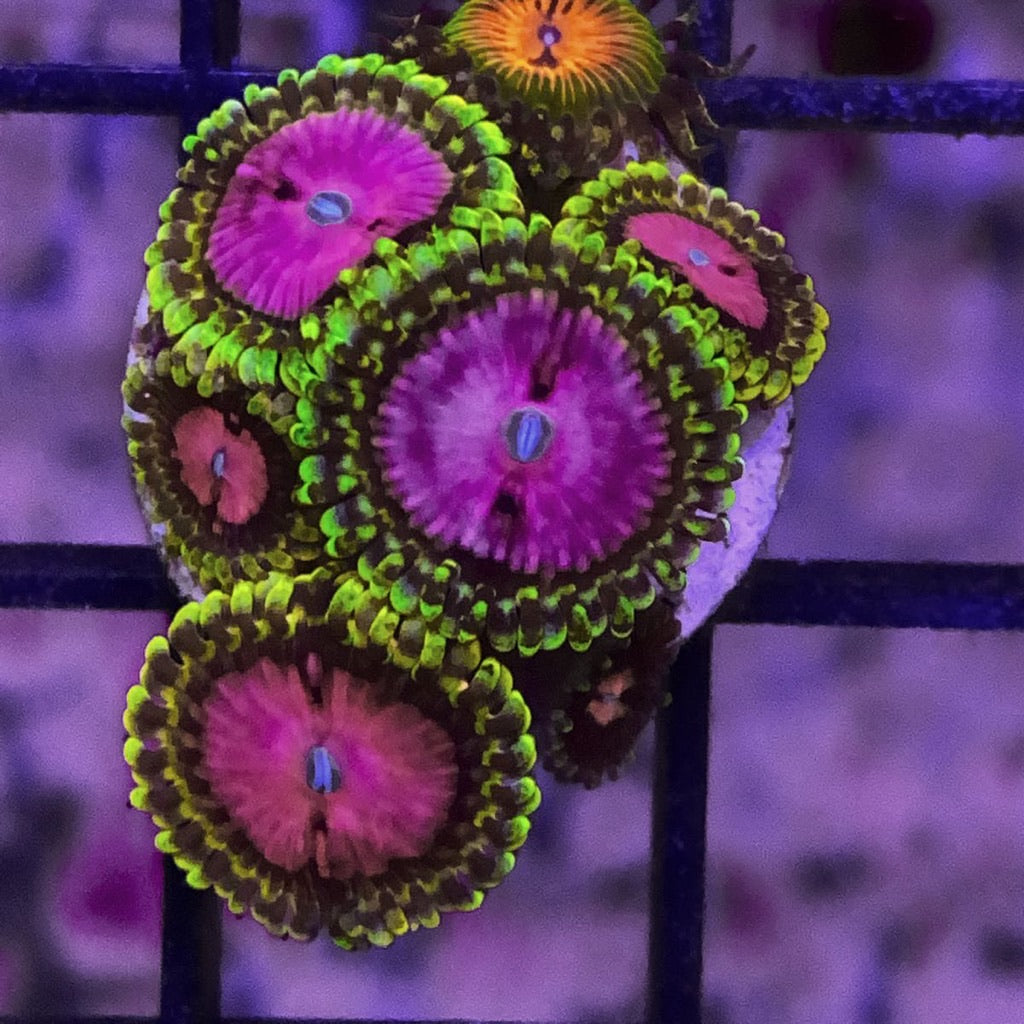 Reef Raft Pink Diamond Zoa (5 Polyp)