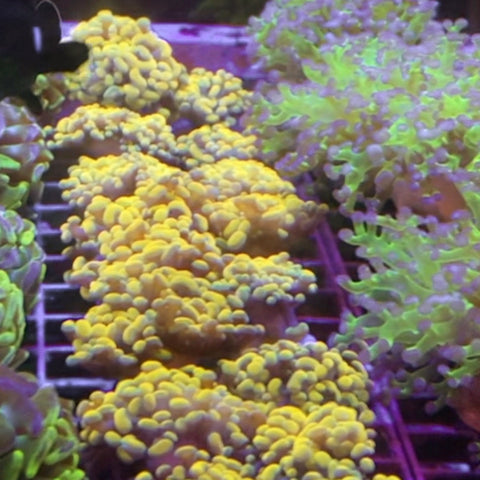 Yellow Gold Branching Hammer Coral