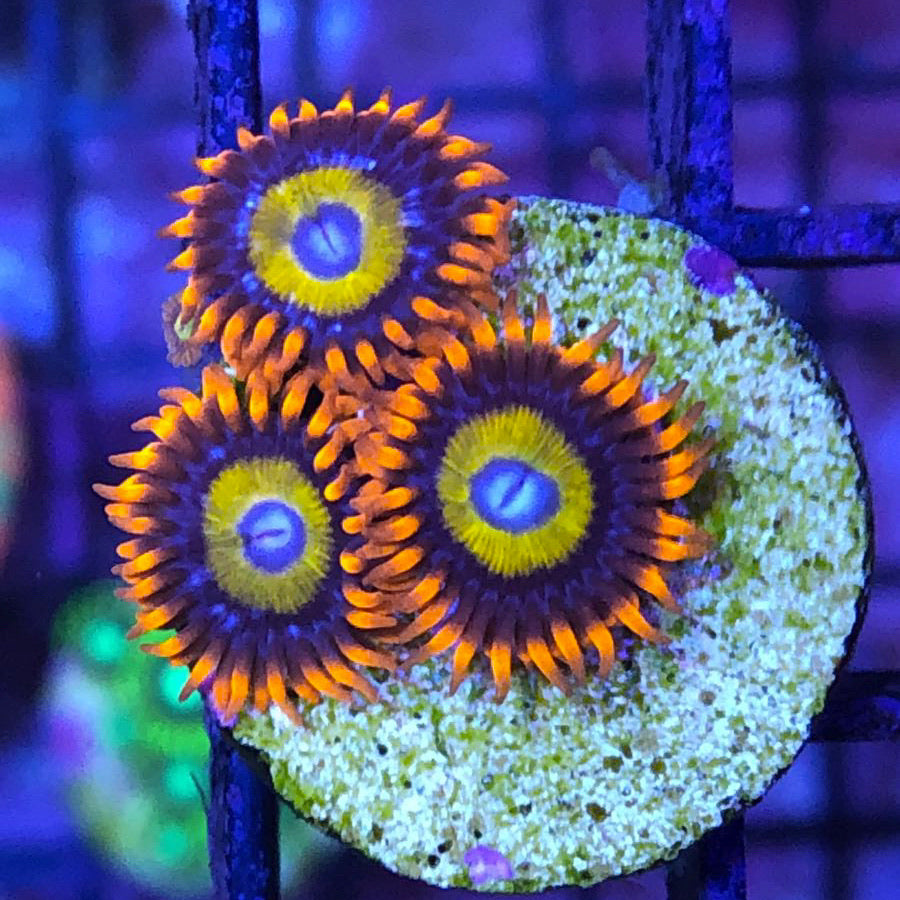 Blue Eye Blonde Bitches (3 polyps)