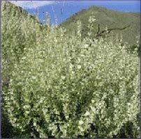 Clary Sage Essential Oil -