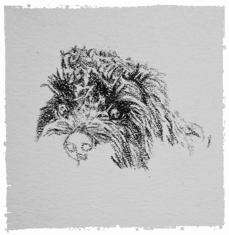 charcoal-portrait-cockerpoo-hadley-and-hudson-9