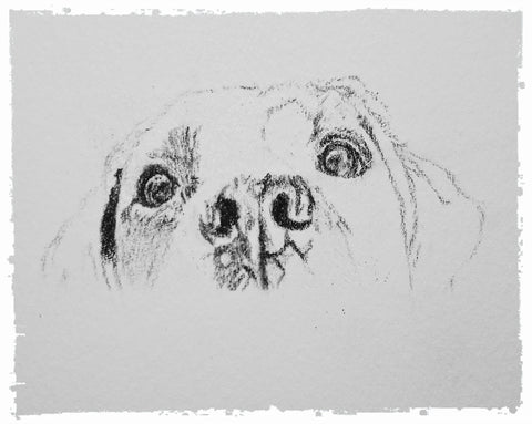 charcoal-portrait-labrador-bella-and-tess-8