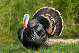 "The ""ULTIMATE DECOY"" Wild Turkey Flushed Fan w/ Mounting Stake - Thirsty Buyer - 7"