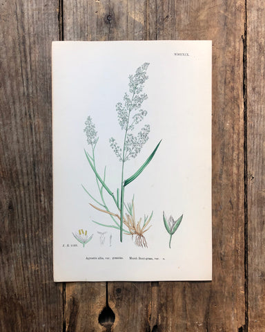 Vintage Botanical Print - 'Marsh Bent Grass'