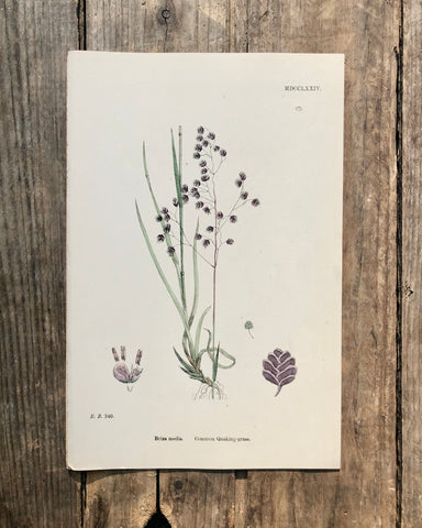 Vintage Botanical Print - 'Common Quaking Grass'