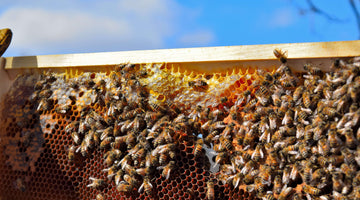 PASTURE POLLINATORS, SUPERORGANISMS, AND WHY BEES HOLD THE KEY TO OUR FUTURE