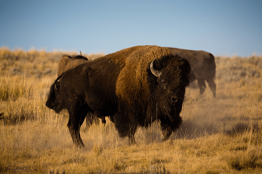 Bison staring at the camera while two bison roam in the background