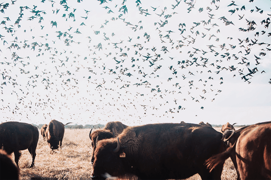 Birds flying over Bison at Roam Ranch