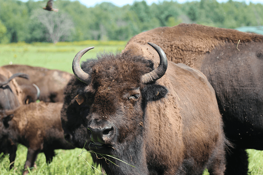 Close of a bison with other bison roaming in the background.