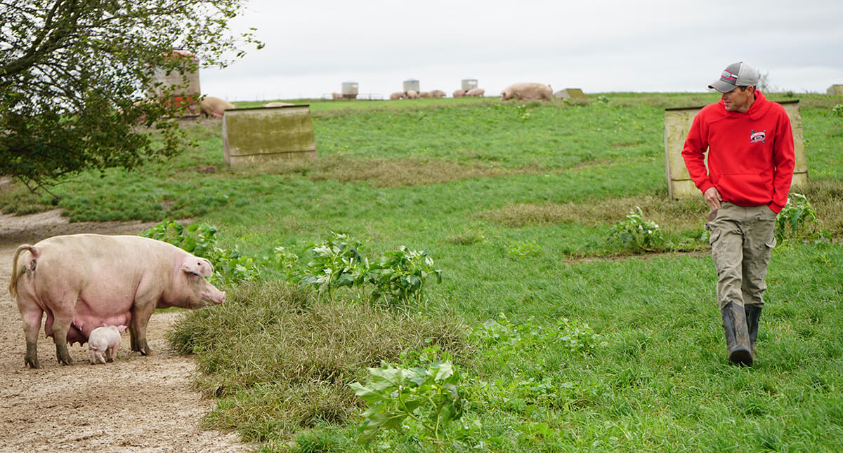 A full-grown pig stands in an open field and faces rancher Josh Trumm. Josh is wearing a red hoodie, a gray cap, neutral-colored pants and rain boots. More pigs can be seen in the background feeding and foraging in the open pasture.